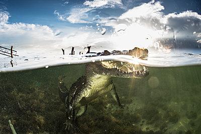 American crocodile (crocodylus acutus) in shallows, Chinchorro Banks, Xcalak, Quintana Roo, Mexico - p429m2004479 by Rodrigo Friscione