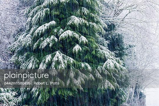 plainpicture - plainpicture p442m1580499 - Snow falls on a Western Red... - plainpicture/Design Pics/Robert L. Potts