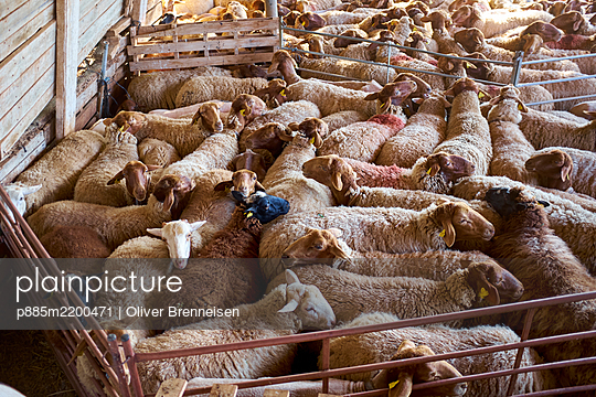 Sheep wait for the sheering - p885m2200471 by Oliver Brenneisen