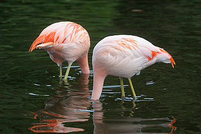 Flamingo - p2290876 by Martin Langer