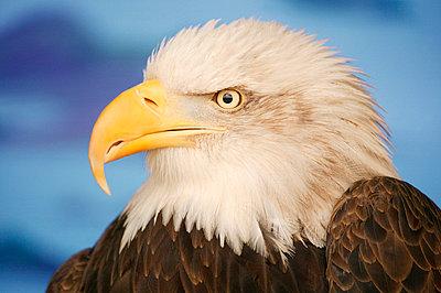 Profile of a bald eagle - p4420523f by Design Pics