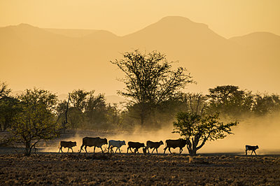Backlight of cattle on way home at sunset, Twyfelfontein, Damaraland, Namibia, Africa - p871m1478786 by Michael Runkel