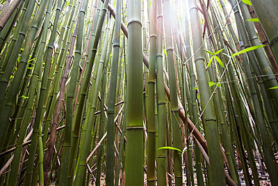 Detail of bamboo stems, Hana, Maui, Hawaii, USA - p924m947168f by Seth K. Hughes