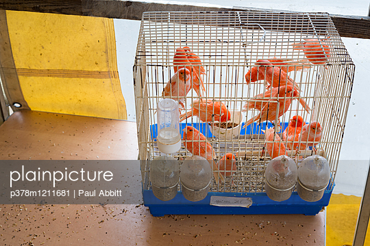 Orange birds in cage