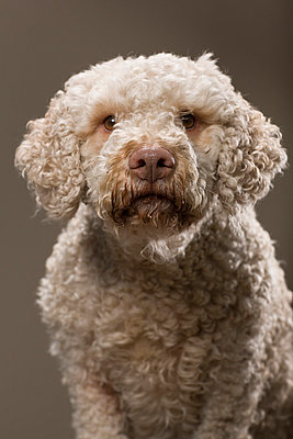 Portuguese Water Dog - p1076m859351 by TOBSN