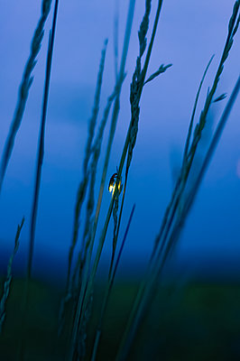 firefly on grass at night - p1166m2124117 by Cavan Images