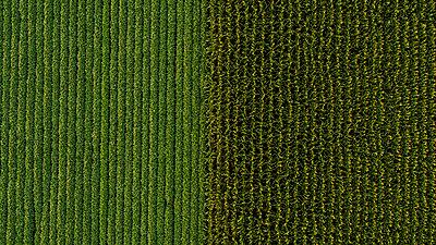 Serbia, Vojvodina, Aerial view of soybean and corn crops - p300m2012906 von oticki