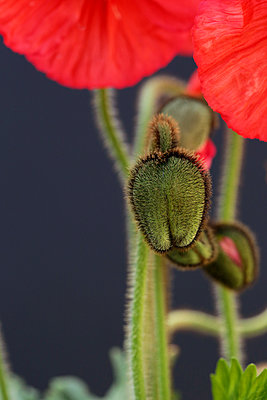 Vibrant Iceland Poppy Blossoms and Buds Against A Dark Background - p1166m2151751 by Cavan Images