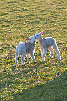Lambs play in a field, Powys, Wales, United Kingdom, Europe - p871m1048017 by Graham Lawrence