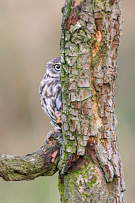 Little Owl  hiding behind tree, Gloucestershire, England - p884m1145384 by John Gooday/ NIS