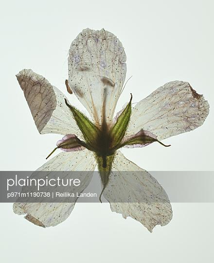 Anemone - p971m1190738 by Reilika Landen