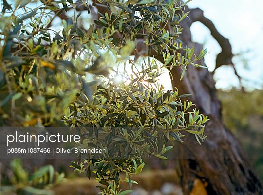 Olive tree - p885m1087466 by Oliver Brenneisen