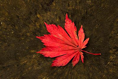 Autumn leaf on a tree stumb in botanic garden Arboretum Poortbulten. - p1144m967130 by Ron Poot