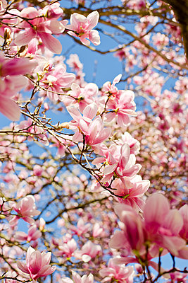 Close-up of pink magnolia blooming on branches - p1166m1570332 by Cavan Social