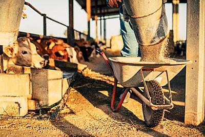 Young farmer unloading feed from a silo into wheelbarrow - p300m2188026 by Aitor Carrera Porté