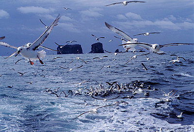 Flock of seagulls flying over the sea - p3487935 by Sigurgeir Jonasson