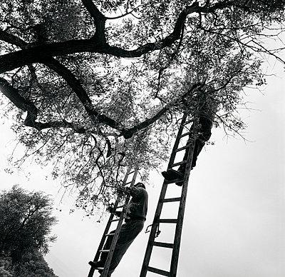 Olivenernte; Italien; Latium - p1016m815729 von Jochen Knobloch