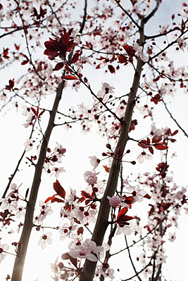 Cherry-blossoms from a low angle view Spain. - p31221302f by Elliot Elliot