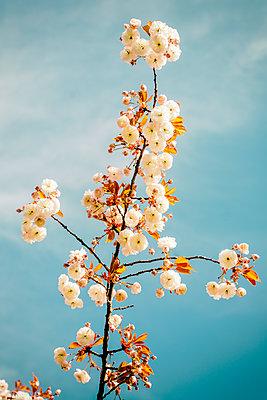 Cherry blossom - p401m2272873 by Frank Baquet
