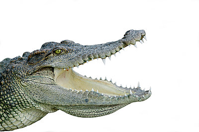 Crocodile with open mouth                                                                                                                                                                                - p1014m806517 by Angelo Cavalli