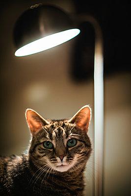 Katze sitzt unter einer Lampe - p1418m1572468 von Jan Håkan Dahlström