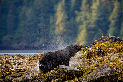 A young female Grizzly Bear drying off, Mussel River, Great Bear Rainforest, British Columbia - p6071609 by Ron Watts