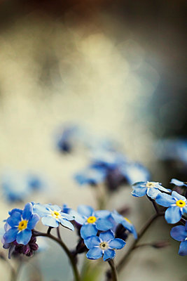 Forget-me-not - p739m1016851 by Baertels