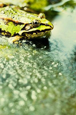 Frosch in einem Teich - p739m1044768 von Baertels