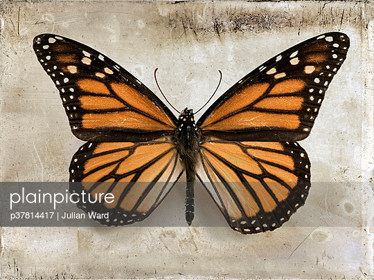 Butterfly from above - p37814417 by Julian Ward