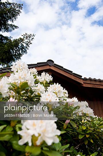 Weiß blühender Rhododendronbusch - p533m1182325 von Böhm Monika