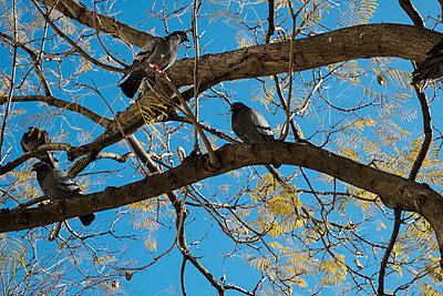 Doves perching in tree - p1146m1193334 by Stephanie Uhlenbrock