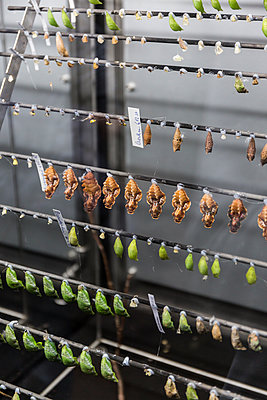 Butterfly breeding - p1177m1516849 by Philip Frowein