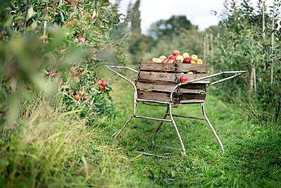 Crate with apples in orchard - p300m1562562 by Peter Scholl