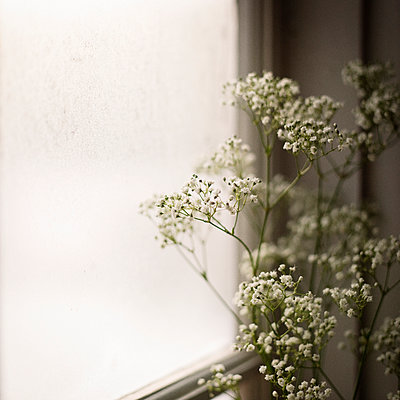 White flowers on windowsill - p312m1024745f by Eveline Johnsson