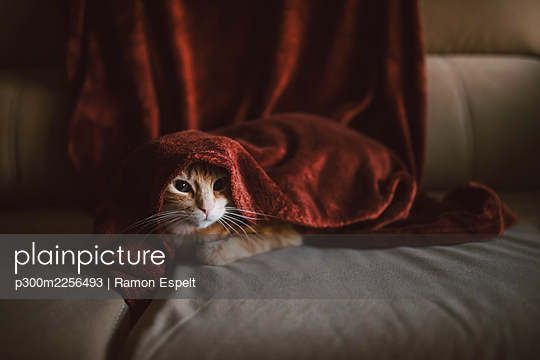 Cat under blanket on sofa at home - p300m2256493 by Ramon Espelt