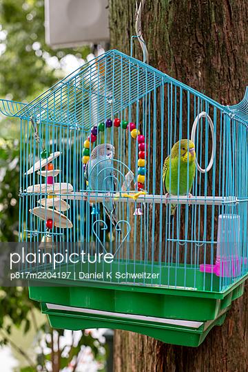 Two Budgerigars in birdcage - p817m2204197 by Daniel K Schweitzer