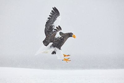 Steller's Sea Eagle, Haliaeetus pelagicus, landing on frozen bay in winter. - p1100m1520130 by Mint Images