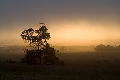Silhouetted Marri Tree in Misty Sunrise Rural Landscape - p1562m2278107 by chinch gryniewicz