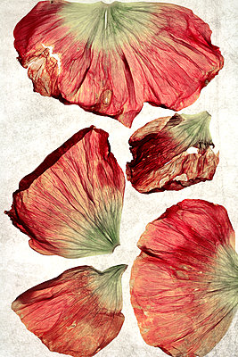 Dried poppy petals - p450m1119354 by Hanka Steidle