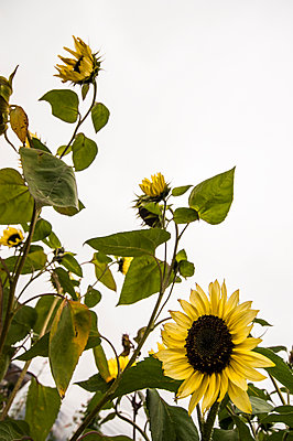 Sunflowers growing on an overcast day - p1047m1094356 by Sally Mundy