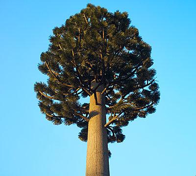 Treetop against blue sky - p1096m2122672 by Rajkumar Singh