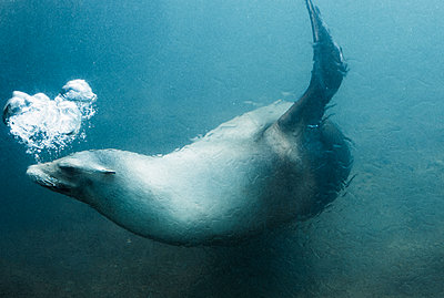 Side view of seal swimming underwater - p301m1406397 by Isabella Ståhl