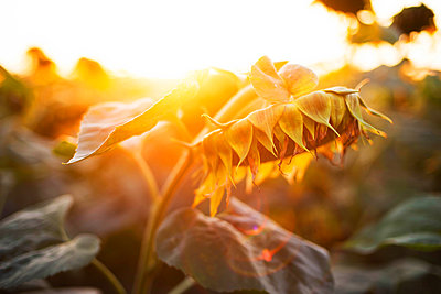 Close-up of sunflower growing outdoors during sunny day - p1166m2096577 by Cavan Images