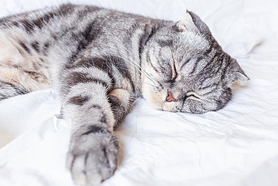 A gray scottish fold cat sleeps on a bed in a sheet. - p1166m2171706 by Cavan Images