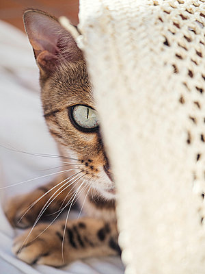 Portrait of Bengali cat with summer hat - p1522m2142162 by Almag