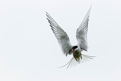 England, rthumberland, View of Arctic Tern flying - p300m2207378 by Stephan Rech