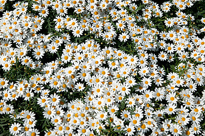 Flower bed with daisies - p388m701857 by L.B.Jeffries