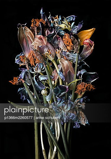 Withered bunch of flowers against black background - p1366m2260577 by anne schubert