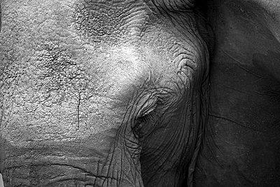 African Elephant (Loxodonta africana) in savanna. Close up. Masai Mara National Park. Kenya. - p1403m2218952 by Nicolas Deloche/Godong
