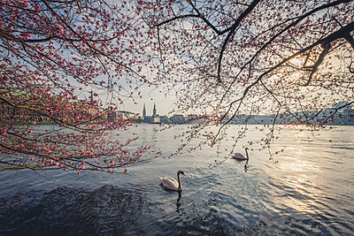 Germany, Hamburg, Germany, Hamburg, blossoming cherry tree at Binnenalster, swimming mute swans - p300m2080936 by Kerstin Bittner